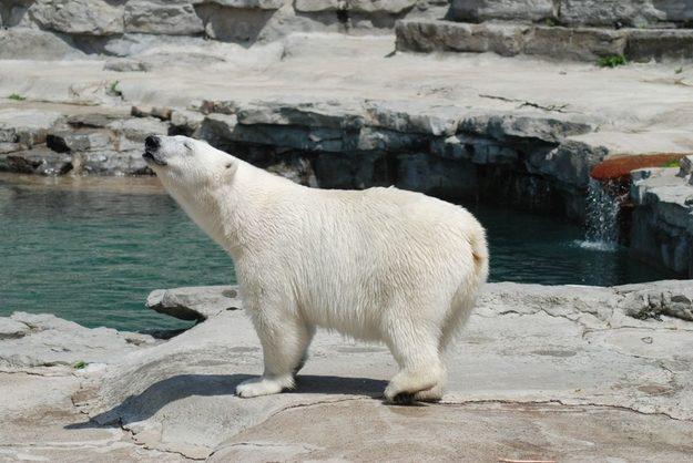 This Polar Bear