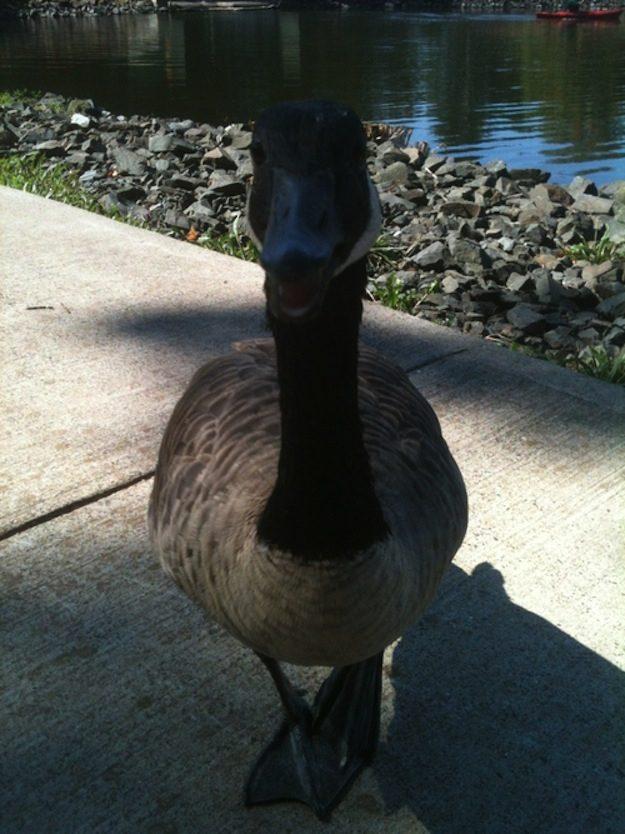 This Goose