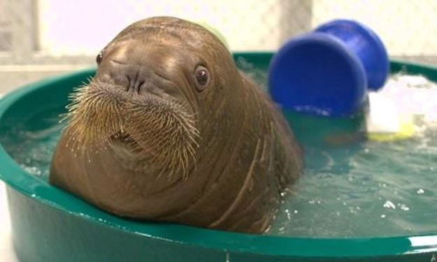This Baby Walrus