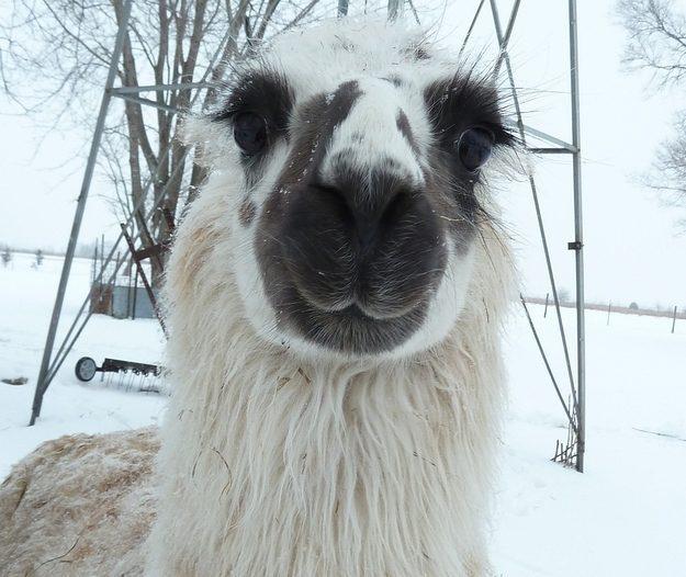 This Llama