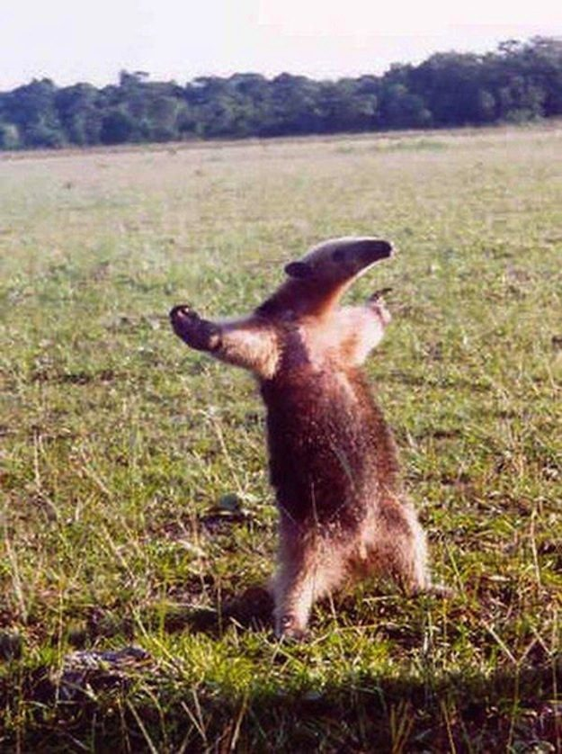 This Anteater