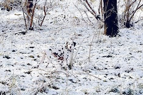 The one time a dalmatian can blend in!
